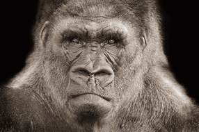 joezammit lucia huntedGorilla 1 Joe Zammit Lucias Wild Animal Portraits