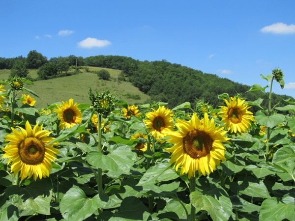 AnnHartMarquis FrenchSunflowers 600x450 The Unexpected Gifts of Travel