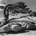 Jasper Pine, photograph, ©1940, Ansel Adams
