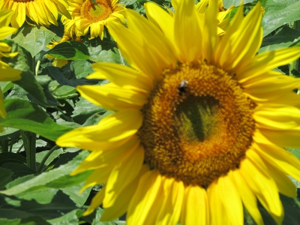 AnnHartMarquis-FrenchSunflower with bee